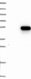 NBP1-83340 - LANCL2