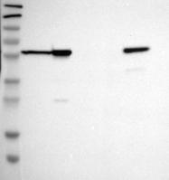 NBP1-87822 - TMPO / LAP2 alpha