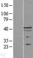 NBL1-17119 - LAP2 Lysate