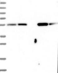 NBP1-82847 - Cytosol aminopeptidase