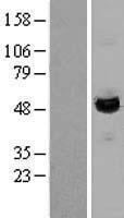 NBL1-12435 - LAP3 Lysate