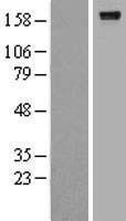 NBL1-07678 - LARG Lysate