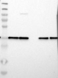 NBP1-82844 - LASP1