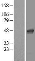 NBL1-12443 - LASS4 Lysate