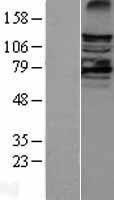NBL1-12449 - LATS2 Lysate