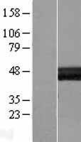 NBL1-12450 - LAYN Lysate