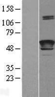 NBL1-12457 - LCAT Lysate