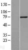 NBL1-12461 - LCMT2 Lysate