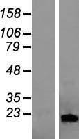 NBL1-12462 - LCN1 Lysate