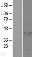 NBL1-12465 - LCORL Lysate