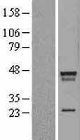 NBL1-12469 - LDB2 Lysate