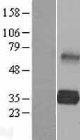 NBL1-12476 - LDLRAD2 Lysate