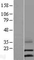 NBL1-08846 - LEC Lysate