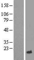 NBL1-12483 - LECT2 Lysate