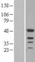 NBL1-12484 - LEF1 Lysate