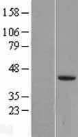 NBL1-12485 - LEFTY2 Lysate