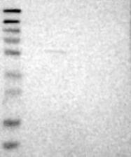 NBP1-85175 - LEMD2
