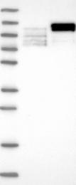 NBP1-89423 - LEO1
