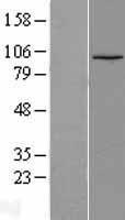 NBL1-12488 - LEO1 Lysate