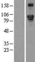 NBL1-12491 - LEPRE1 Lysate