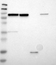 NBP1-89556 - LETM1