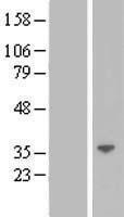 NBL1-12497 - LGALS12 Lysate
