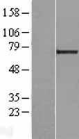 NBL1-12502 - LGALS3BP Lysate