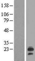 NBL1-12511 - LHFP Lysate