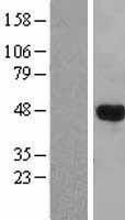 NBL1-12515 - LHX3 Lysate