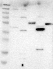 NBP1-82845 - LIAS