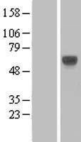 NBL1-12525 - LILRA3 Lysate