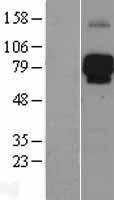 NBL1-12527 - LILRB2 Lysate