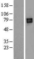 NBL1-12528 - LILRB2 Lysate