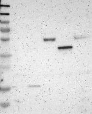 NBP1-84575 - CD85c / LILRB5