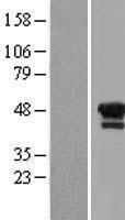NBL1-12513 - LIM1 Lysate