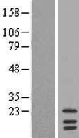 NBL1-12532 - LIM2 Lysate