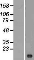 NBL1-12540 - LIMS3 Lysate