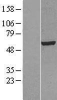 NBL1-12547 - LIPC Lysate