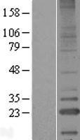 NBL1-12554 - LITAF Lysate