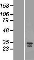 NBL1-12555 - LIX1 Lysate