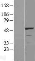 NBL1-16540 - LKB1 Lysate