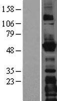 NBL1-12557 - LMAN1 Lysate