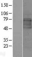 NBL1-12560 - LMBRD1 Lysate