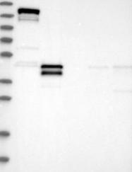 NBP1-85986 - LMCD1