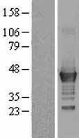 NBL1-12561 - LMCD1 Lysate