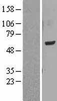 NBL1-12562 - LMF1 Lysate