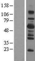 NBL1-15917 - LNK Lysate
