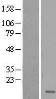 NBL1-12594 - LOC285033 Lysate