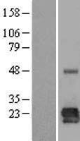 NBL1-12637 - LOH12CR1 Lysate