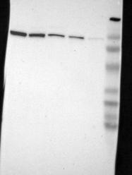 NBP1-81734 - LONP1 / PRSS15